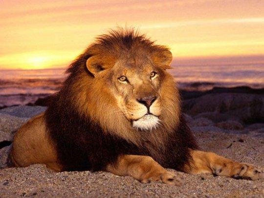 Лев – царь зверей на фото
