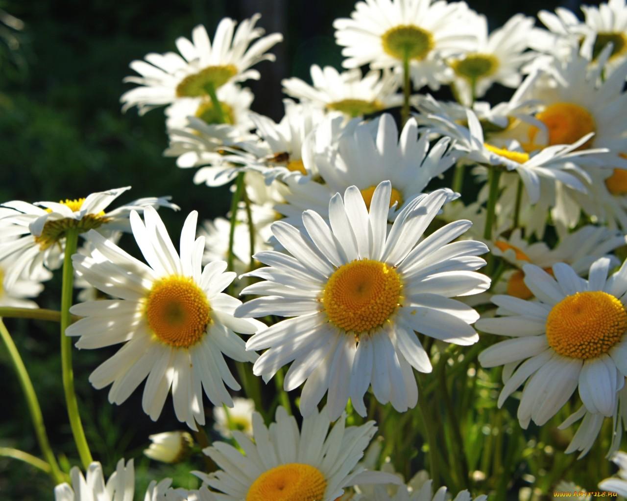 ромашка цветы фокус  № 1096467  скачать