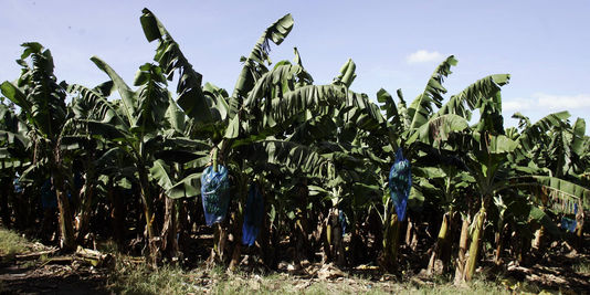 bananenplantage, in le Carbet, Martinique.