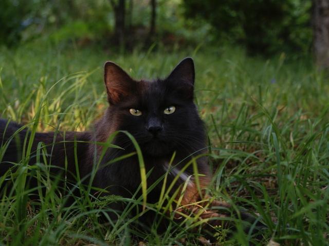 природа животные кот котенок черный  № 654402 бесплатно
