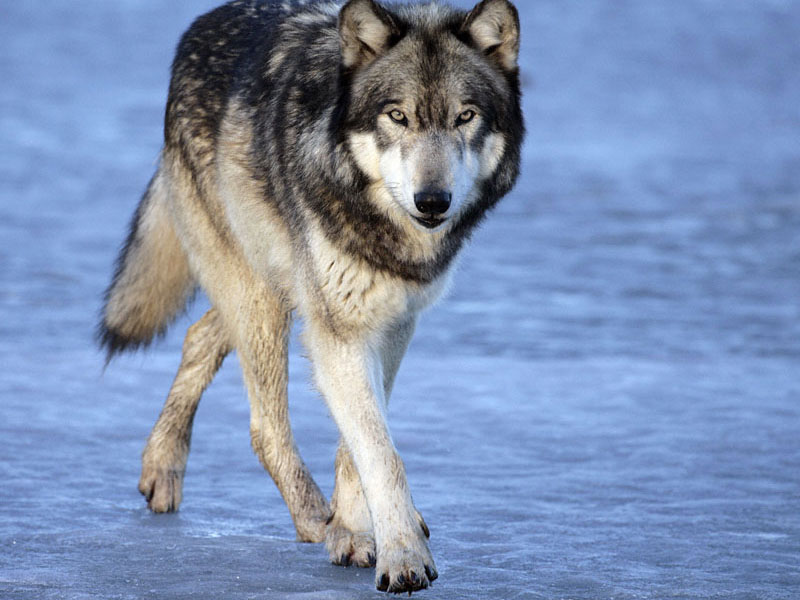 раз его одинокий волк стихи картинка опалубка стен